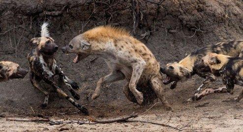 Hyena_Attack