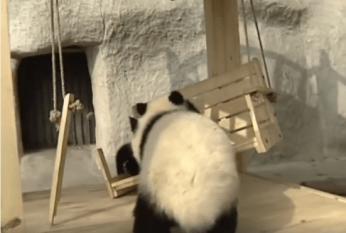 panda-bear-love
