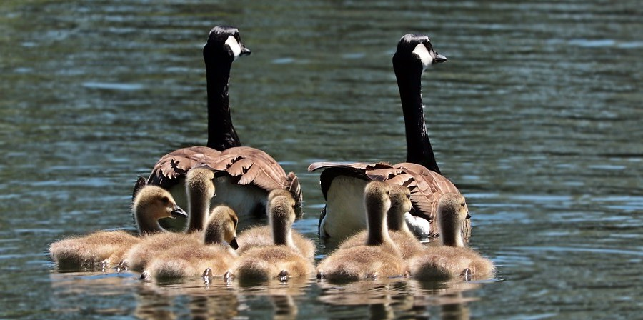 monday-musings-natasha-musing-valuing-our-loved-ones-before-we-lose-them-geese