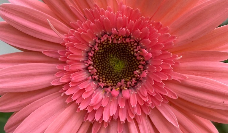 wordless-wednesday-natasha-musing-spring-blossoms-gerbera