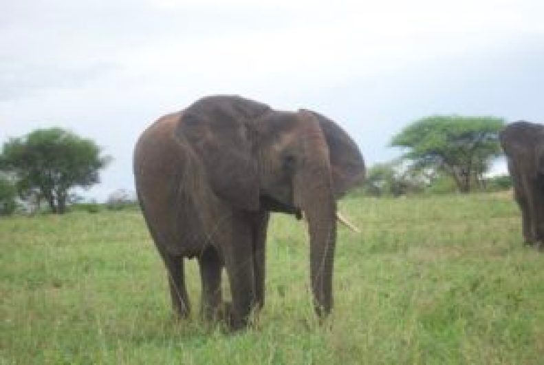 wordless-wednesday-natasha-musing-african-elephants-wild-africa-african-adventures-tusker-elephant