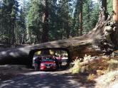 A fallen Sequoia tree.