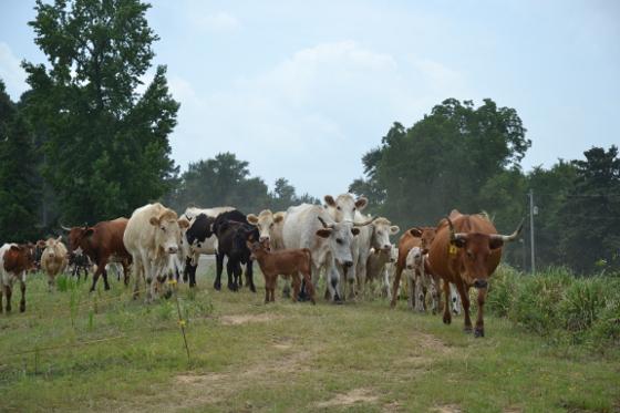 cattleman2017