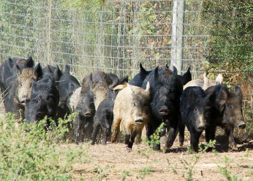 feral swine57jpg