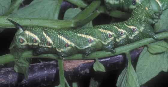 Garden Series- Hornworm