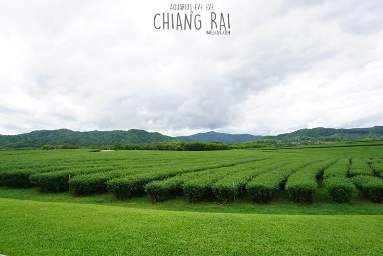 Tea Farm at Singha Park   Chiang Rai