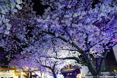 Jinhae-Cherry-Blossom-2018-Jinhae-Gunhangje-Festival-04