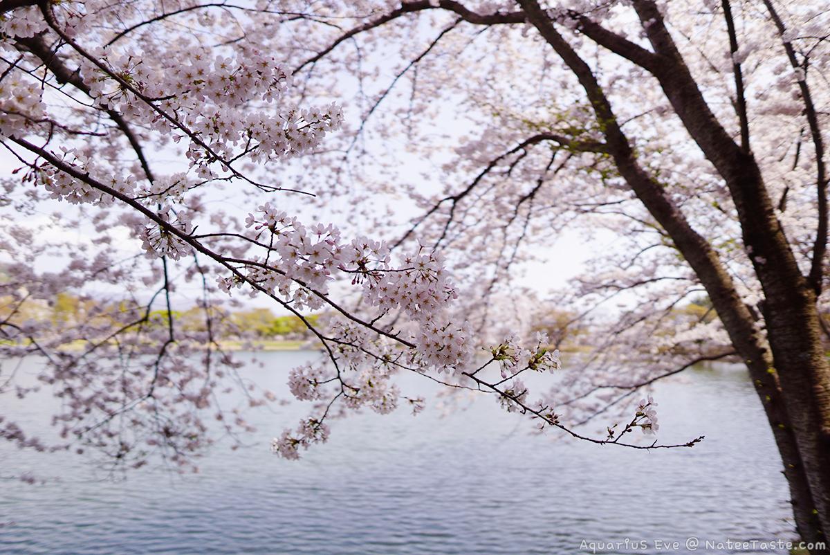 Jinhae-Cherry-Blossom-2018-Jinhae-NFRDI-Environment-Eco-Park-03