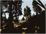 Big Bear Pine
