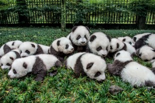 A group of pandas is called an embarrassment. This embarrassment of 18 cubs is engaging in embarrassingly adorable behavior at the Bifengxia Giant Panda Breeding and Research Center in Ya'an, China. Photograph by Ami Vitale, National Geographic