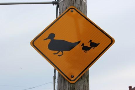 On a vraiment vu les canards au bord de la route