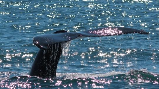 Les baleines d'Husavik, Islanðe..on les a enfin vues…23.06.2015