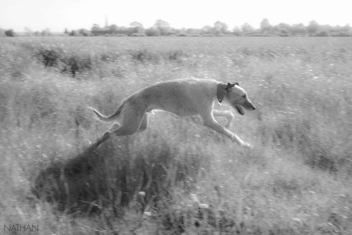 Ziggy running in the wheat