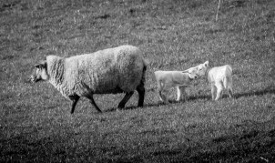 A mother and her two lambs