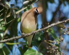 curious waxwing