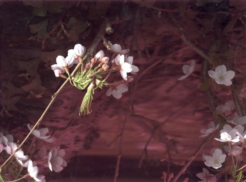 blossom on the Dodder