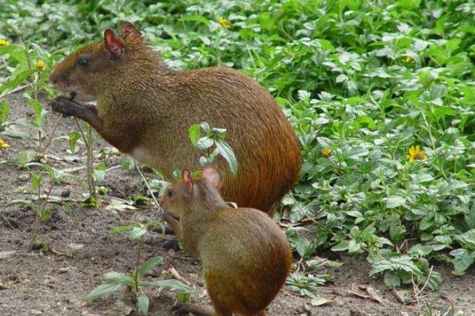 Cutias serão reinseridas no Parque Nacional da Tijuca