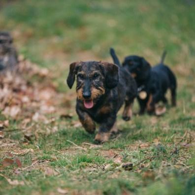 sausage dogs-36