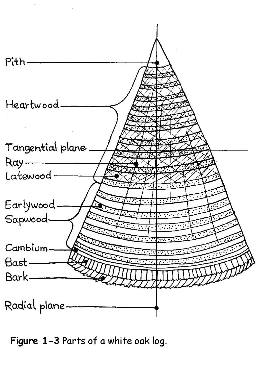 Selecting A White Oak Tree For Basketry