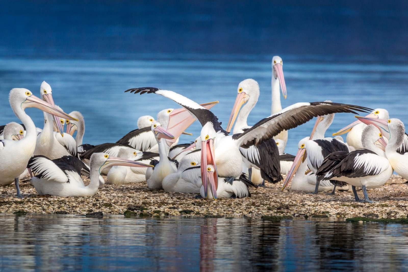 Scholes Phil_Pelicans at play_Cex Nature Photography 2021