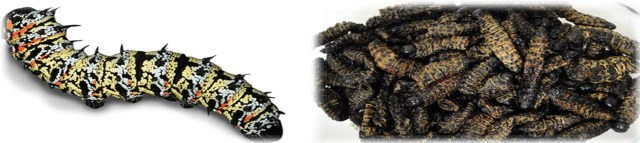 25 mopane worms – zimbabwe