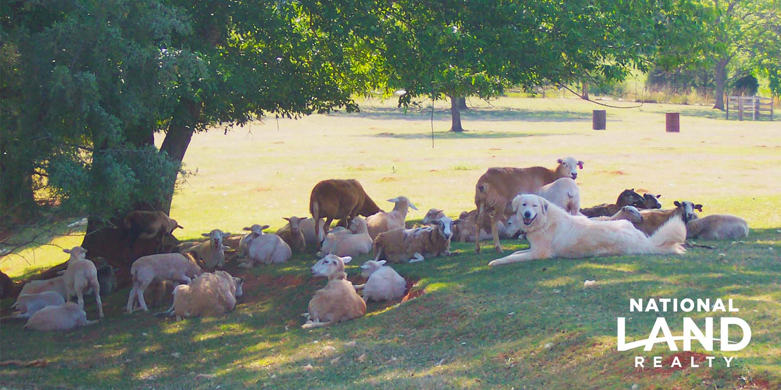 How Livestock Guardian Dogs Can Be Beneficial to Livestock Owners