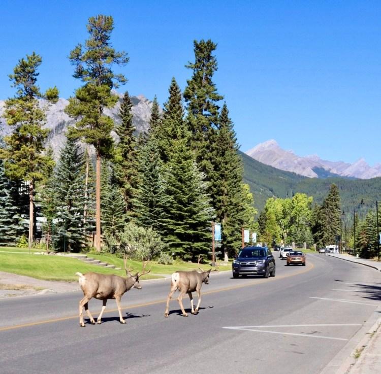 Wildlife at Banff National Park