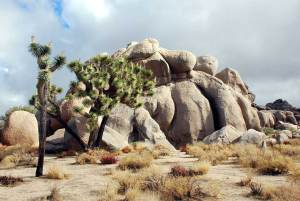 dog info and rules joshua tree national park