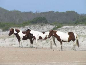 assateague island national park paws dog info