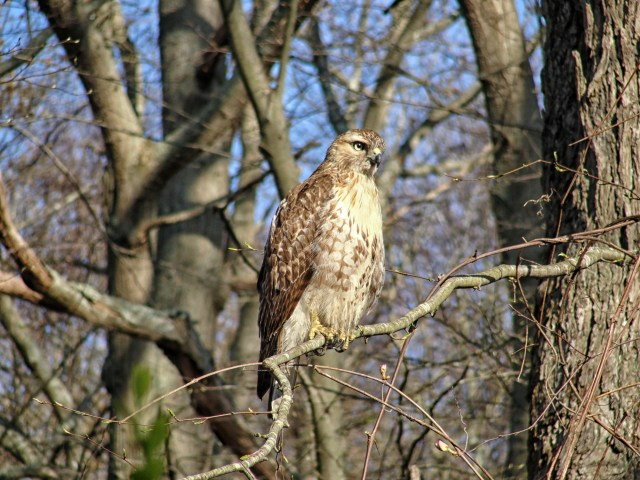 Hawk at Bluff Point