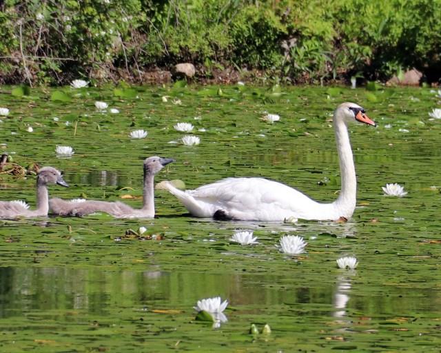 Jenny Jump Swans