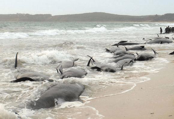 Stranded whales in Fukushima