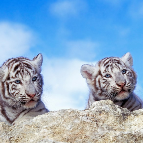 Two white tiger cubs die of Covid-19 infection after outbreak among keepers, Pakistan zoo says