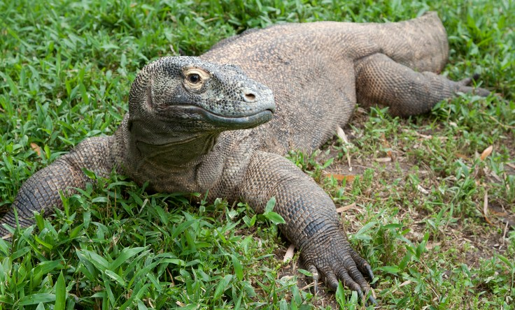 https://i1.wp.com/nationalzoo.si.edu/sites/default/files/animals/komododragon-002.jpg?w=736&ssl=1