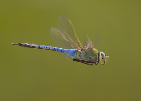 Smithsonian Scientists Unlock The Mystery Of Dragonfly Migration Smithsonian S National Zoo