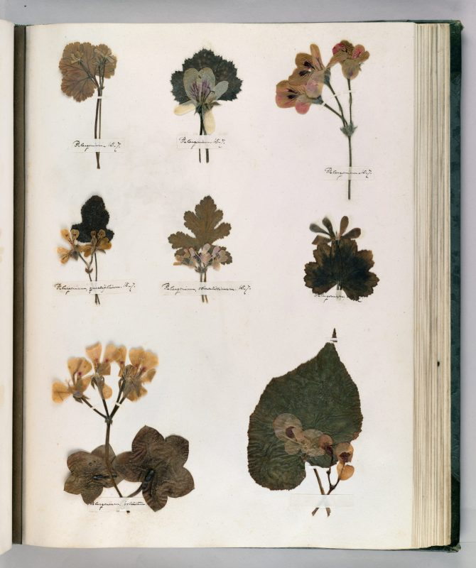 Preserved leaves and flowers on a page from Emily DIckinson's herbarium catalog
