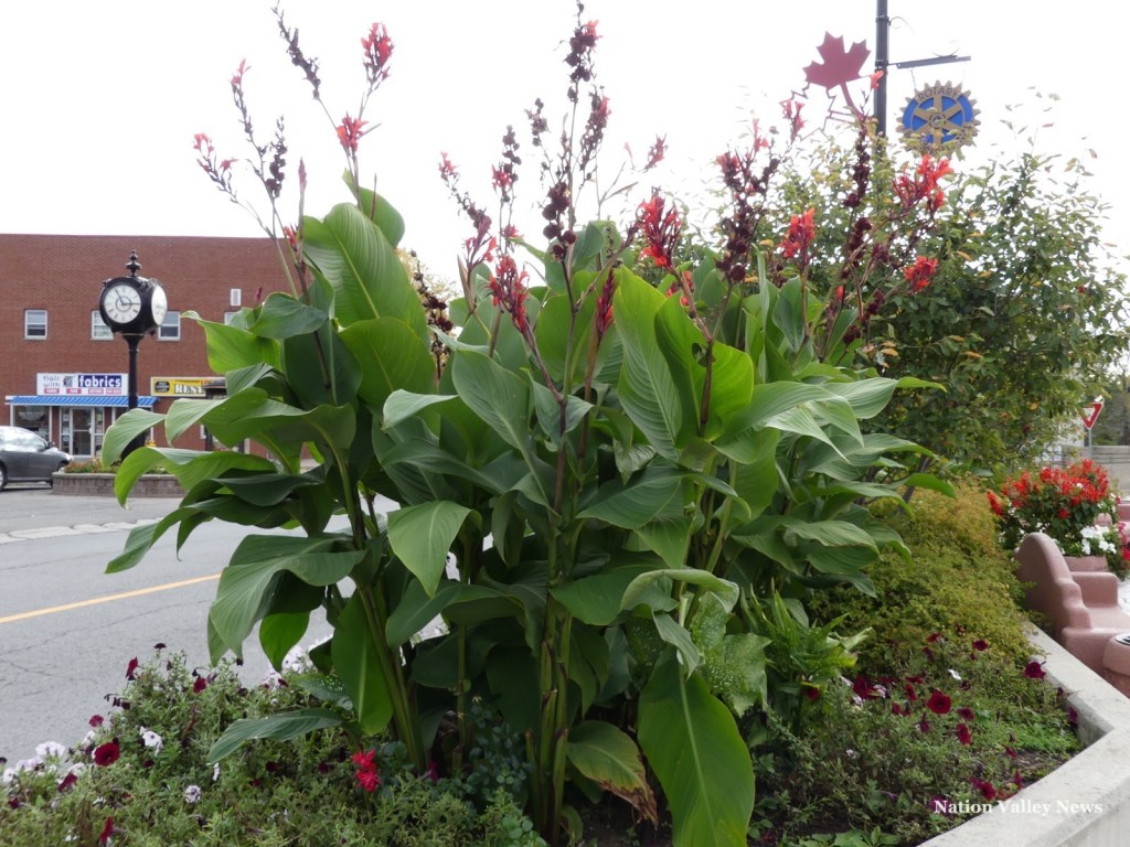 Free canna lily plants, courtesy of the Green Action Gang