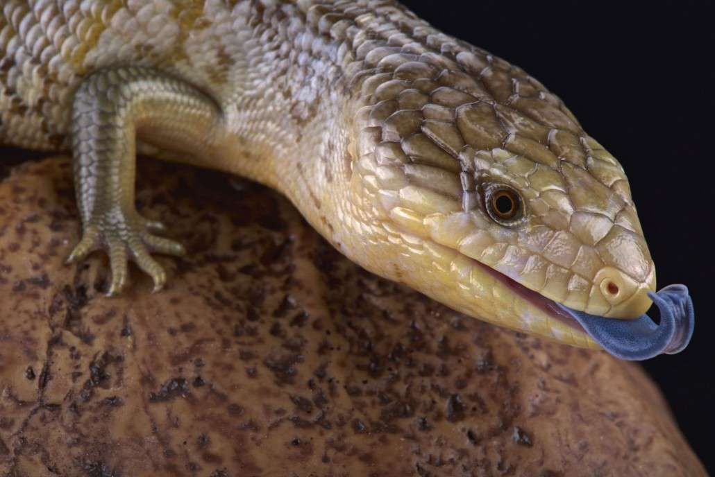 Western Blue Tongue