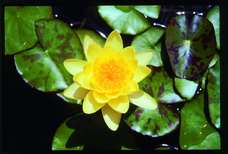 Water Lily Pond Maintenance