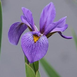 iris-virginica-4x4-from-50