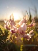 Ground Plum (Astragalus crassicarpus)