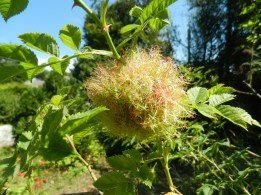 WASP NEST  Rose Bedguar Gall Wasp