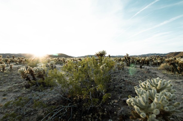 Cholla Cactus Garden in Joshua Tree