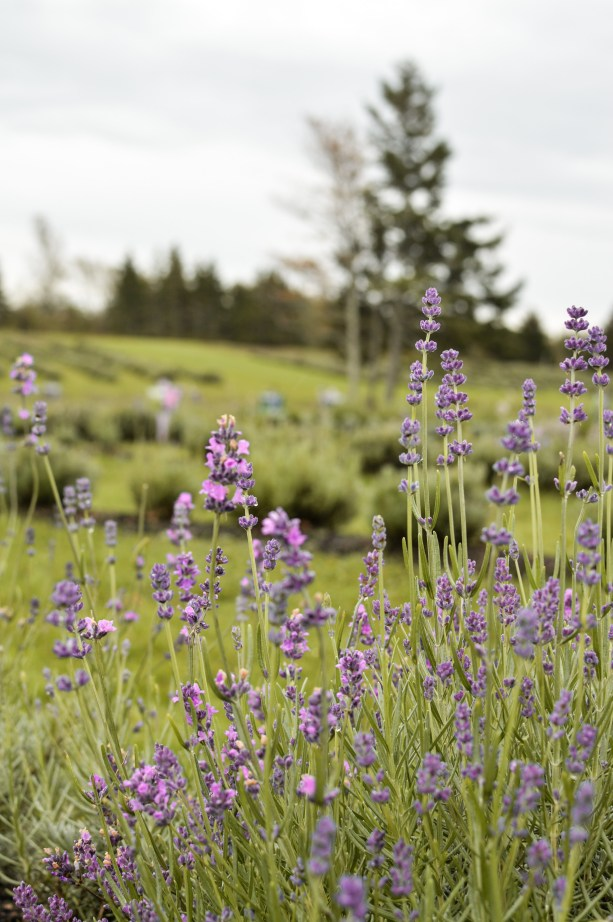 Sea Foam Lavender Farm