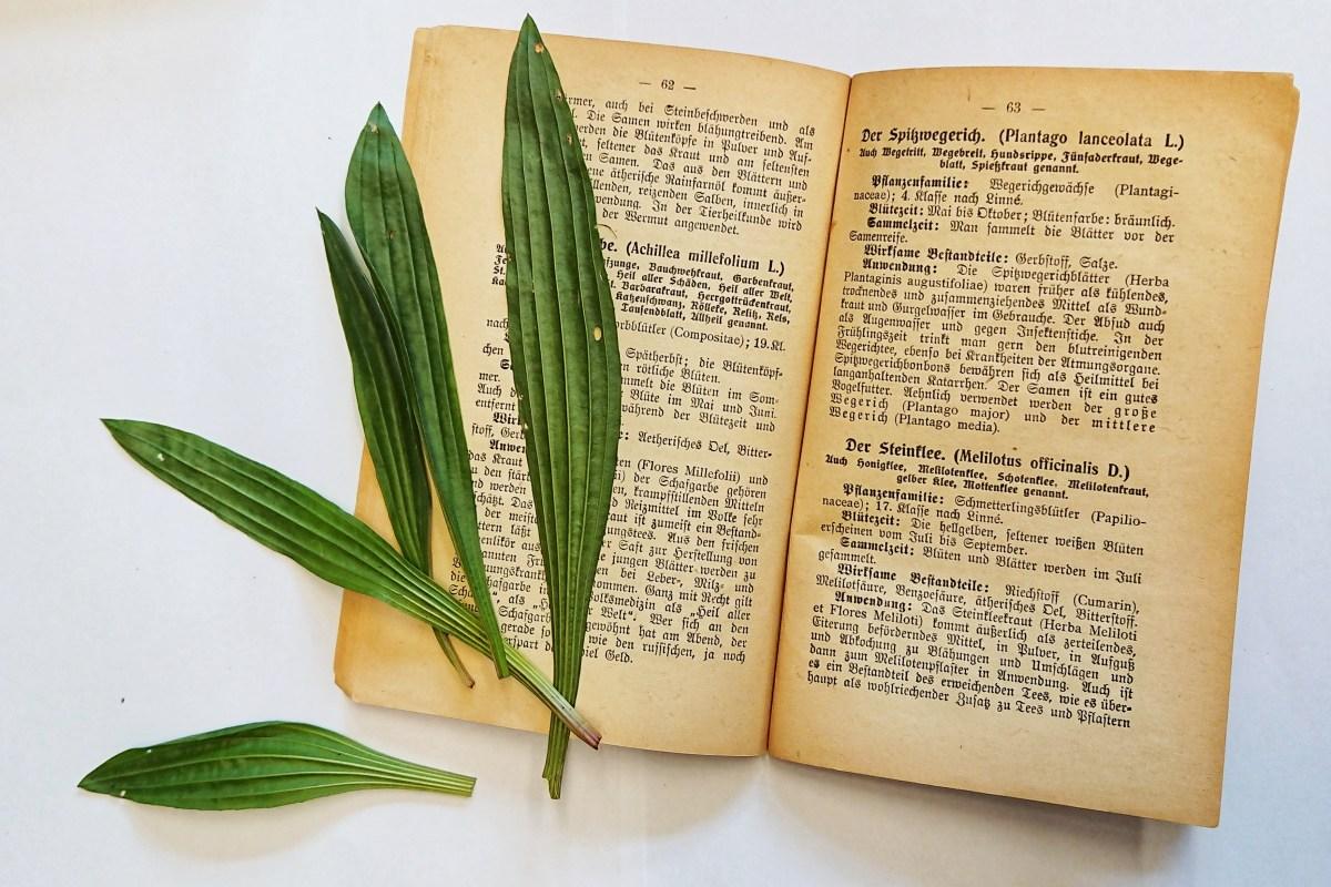 Spitzwegerich - Eines der besten Hustenmittel und berühmter Wundheiler