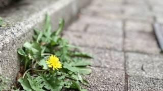 道端に咲くタンポポの写真
