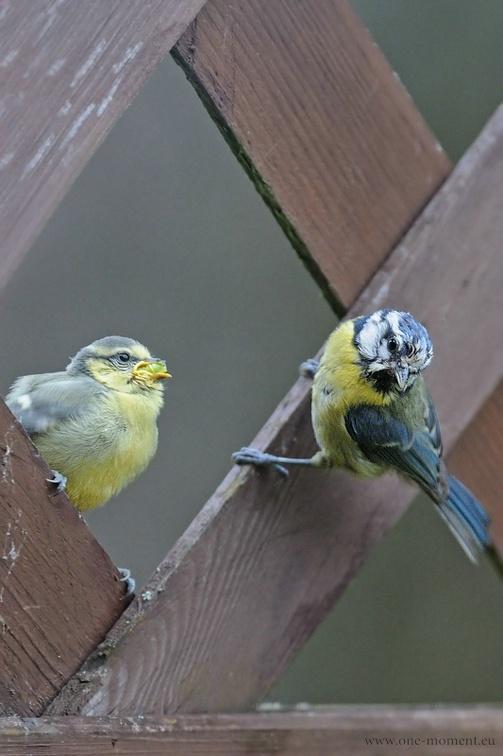 Wenn der Sperling Mama Blaumeise nicht gerade weg jagte, konnte sie auch mal ihren Nachwuchs füttern
