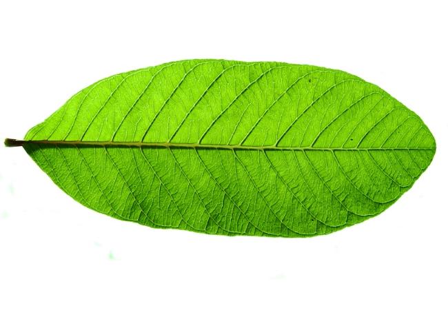 Gauavava leaves