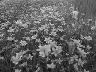 B/W Fleurs (Highland)