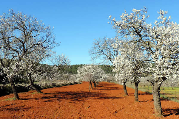 Almond Tree Plantation for Massage Oils